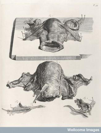 William Cowper, Diagrama del útero (1739)